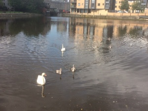 photo of swans on Water of Leith near Victoria Bridge