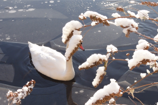 photo of a swan and foliage covered in snow during the 'beast from the east' in 2018
